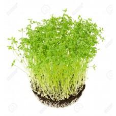 Семена Микрозелени Чечевица, 10г