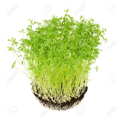 Семена Микрозелени чечевицы