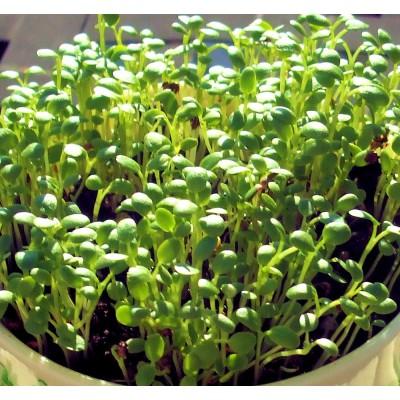 Семена Микрозелени Клевер Розовый красный,10 г
