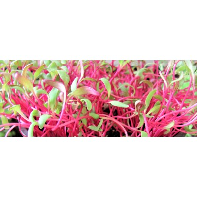 Семена Микрозелени Мангольд красный