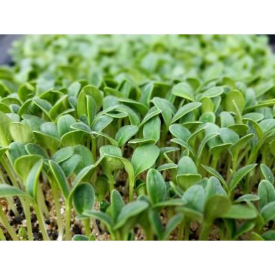 Семена Микрозелени Маш