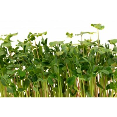 Семена Микрозелени Салат