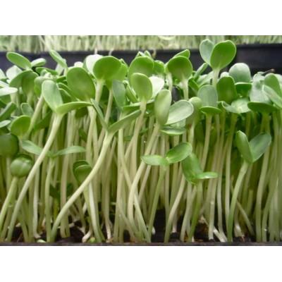 Семена Микрозелени подсолнух