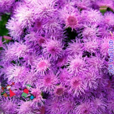 Ageratum (Агератум)  розовый