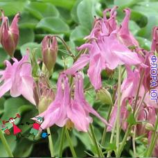 Aquilegia (Аквилегия), светло-розовая