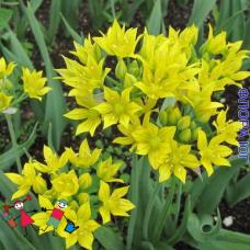 Аллиум. Лук декоративный Allium moly (Аллиум Моли). 5 шт. Голландия