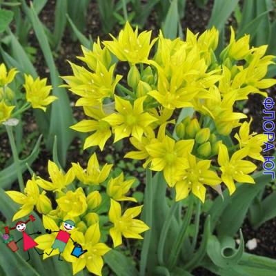 Лук декоративный Allium moly ( Аллиум Моли ) . Голландия