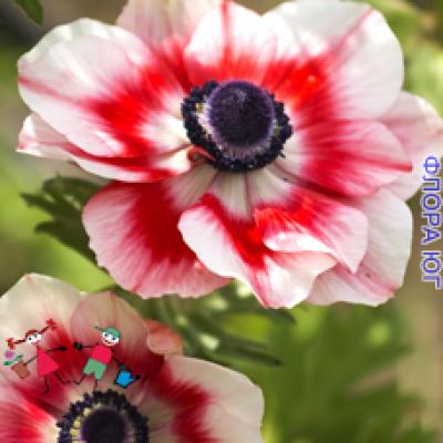 Анемона Bicolor ( Биколор )