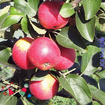 Яблоня Arbat (Арбат)