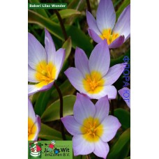 Тюльпан Bakeri Lilac Wonder (Бекери Лилак Вондер)