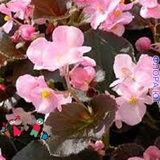 Бегония вечноцветущая, розовая