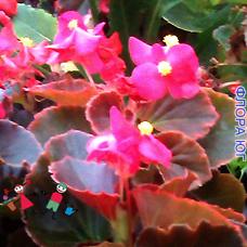 Begonia semperflorens Link еt Otto (Бегония вечноцветущая, коралловая)