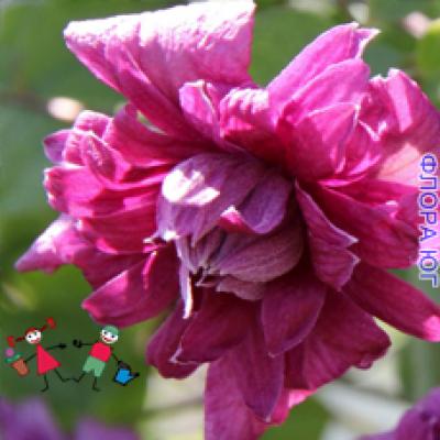 Клематис Purpurea Elegans (Пурпура Элеганс)
