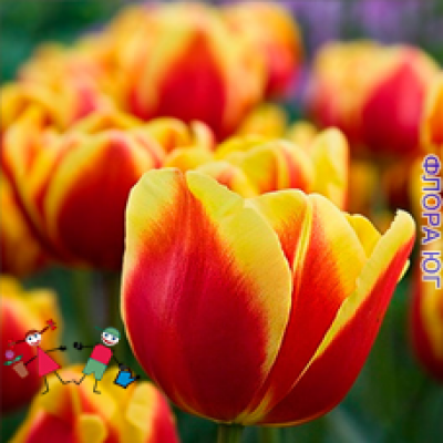 Тюльпан Тюльпан  Denmark (Денмарк)  (5шт)