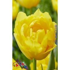 Тюльпан Дабл Трабл