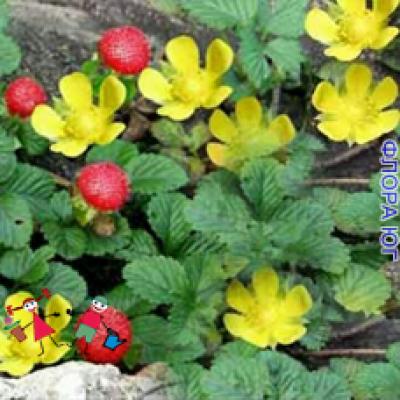 Duchesnea indica ( Дюшенея индийская)