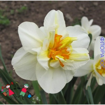 Нарцисс Flower Drift (Флауэр Дрифт)