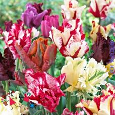 Клумба тюльпанов Попугайные