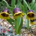 Fritillaria Uva-vulpis ( Фритиллярия/ Рябчик Ува-Вулпис ),Голландия