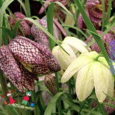 Фритиллярия / Рябчик Мелеагрис (Fritillaria Meleagris), Голландия, 5 шт, смесь.