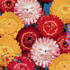 Helichrysum (Гелихризум) смесь