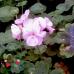 Pelargonium (Пеларгония  / Герань)