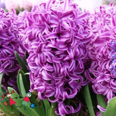 Гиацинт Purple Sensatio (Перпл Сенсейшн). Голландия