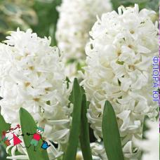 Гиацинт White Pearl (Уайт Перл) Голландия