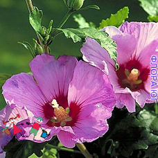 Hibiscus (Гибискус) сирийский, розовый
