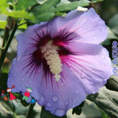 Гибискус сирийский, фиолетовый