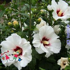 Hibiscus (Гибискус) сирийский, белый