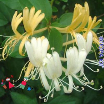 Lonicera japonica (Японская жимолость)
