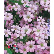 Gypsophila (Гипсофила) розовая