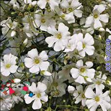 Gypsophila (Гипсофила) белая