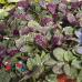 Живучка Burgundy Glow (Бургунди Глоу), пестролистная