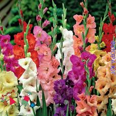 Gladiolus (Гладиолус) смесь