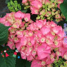 Hydrangea macrophylla rose ( Гортензия крупнолистная розовая )