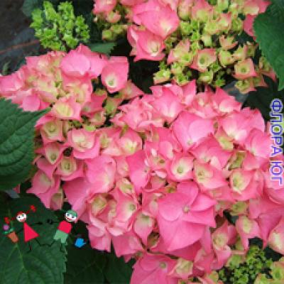 Hydrangea macrophylla rose (Гортензия  розовая) 2-х летняя