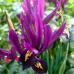 Ирис сетчатый Purple Gem ( Пурпл Гем )