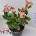 Kalanchoe (Каланхоэ ) Розовое, Махровое