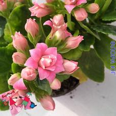 Каланхоэ розовое, махровое