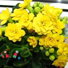 Каланхоэ желтое, махровое