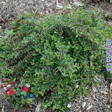 Cotoneaster horizontalis (Кизильник горизонтальный)