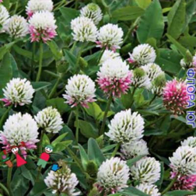 Trifolium Pratense (Клевер луговой)