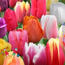 Клумба тюльпанов Триумф