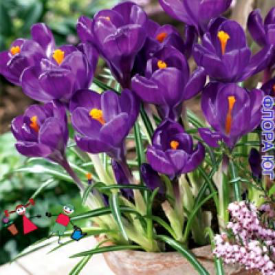 Крокус Flower Record  (Флауер Рэкорд )