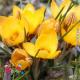 Крокус Фускотинктус, Голландия