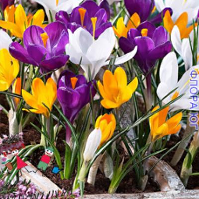 Крокус  Large-flowered mixture ( Смесь крупноцветковые )