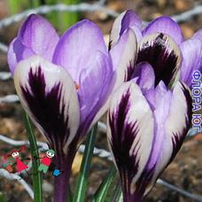 Крокус Spring Beauty ( Спринг Бьюти )