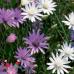 Ксерантемум (сухоцвет), смесь